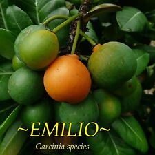 ~Emilio~ Mangosteen Garcinia new subspecies V Rare Fruit Tree Live Potted Plant