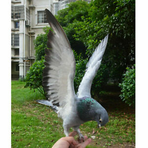 Real Bird pigeon grey dove Specimen collectable natural taxidermy fly figure