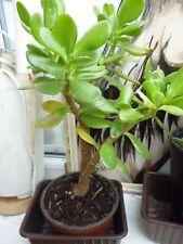 Money plant/jade plant/ crassula ovata  potted house plant. Glossy thick leaves