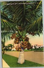 A Tree Loaded with Coconuts in Florida
