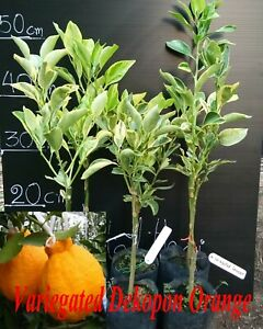 Variegated Dekopon Orange Tree RARE grafted Live plant Type SUMO