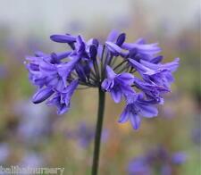 New Agapanthus Napoli dark blue flowers excellent garden plant