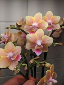 "Phalaenopsis Orchid ALLURA ""Starlight"" Spotted Fragrant Flowers Phal Bare Root"