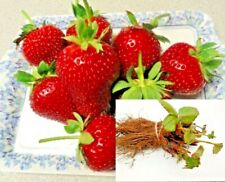 Puget crimson summer bearing strawberry plants, sweet rich flavor, bare root