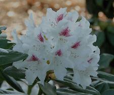 Rhododendron großblumige Hybride Schneeauge 30-40cm Frühlingsblüher