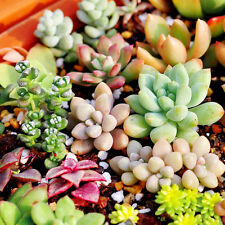 150X Lots Mix Succulent Seeds Lithops Rare Living Stones Plants Cactus Pot Plant