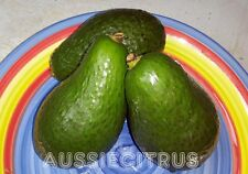SHEPARD AVOCADO,TREE,TROPICAL,jam,spice,herb,seed grown plant,fruit tree