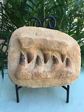 Mosasaur Teeth Fossil Specimen Tooth In Matrix Jaw Bone Dinosaur Era Morocco