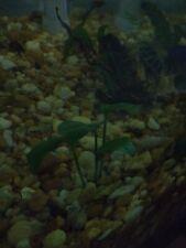 3 anubias plants aquatic aquarium good roots