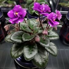 Tipped Honey Miniature African Violet starter plant