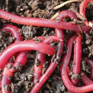 50grms Red worms