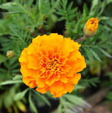 French Marigold Seed 60 Seeds Tagetes Patula Maidenhair Flower Garden Seeds A019