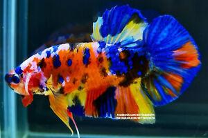 (Limited!) Premium Live GIANT Betta Fish l Male Yellow Nemo Galaxy Plakat 6.1cm!
