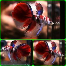 New listing Live Betta Fish Big One Fancy Red Koi Showa Halfmoon Hm Male A877