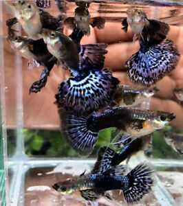 3 Pair Red Tail Big Ears,Full Gold,Purple Dragon Guppy Live Fish Male&Female