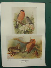 VINTAGE BIRD PRINT ~ BULLFINCH ~ CROSSBILL