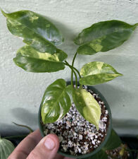 Compact Variegated Philodendron Burle Marx