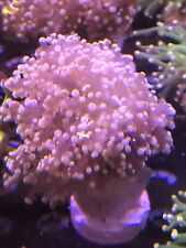 Branching Pink Frogspawn WYSIWYG Live Coral Frag - Pop Corals Candy Shop