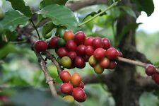 10 Coffee Tree Seeds  - Coffea Arabica tree- FREE SHIPPING - US SELLER