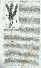Cuscute du thym Gravure Botanique Matthioli Mattioli Matthiole Dioscoride