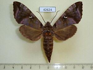 Sphingidae Maassenia heydeni Madagascar