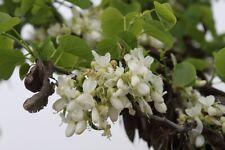 Cercis siliquastrum 'Alba' - The White Judas Tree - 10 Fresh Seeds
