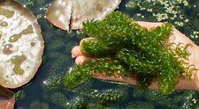 Pond Aquarium Plant - Oxygenating Pond Weed - Elodea (Egeria) densa
