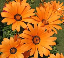 African Daisy Seeds BULK Heirloom Wildflower Osteospermum Cape Marigold Heat Sun