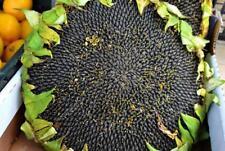 20Pcs Skyscraper Giant Sunflower Seeds 12 Feet Tall Rare Viable Seeds Sunflower