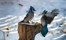 Framed Print - Blue Jay Birds Fighting over a Peanut (Picture Poster Animal Art)