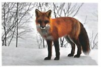 Fine Art Quality Animal Postcard, Fox, Winter, Snow 45G