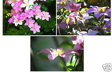 Beautiful Clematis Blossoms (Set of 3)-11X14 Matting
