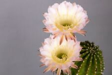 """Echinopsis Hybride /""""Oberon/"""" Ø 2-3 cm im 7er Topf vom Züchter Bob Schick"""
