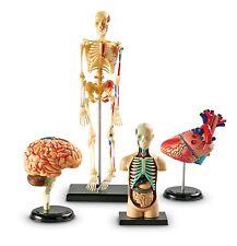 The Human Anatomy Model Set Human Body Skeleton Human Body Anatomy Of Human