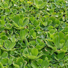50+ Dwarf Water Lettuce Pond Plants Great For Filtration And Spawning Season!