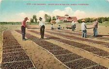 c1910 Mitchell Postcard 2319 Fig Industry Drying Figs in Sun, Fresno CA Unposted