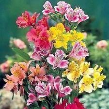 25+ Alstoremeria Dr. Salter's Mix Flower Seeds / Peruvian Lily / Perennial