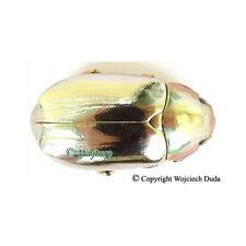 Chrysina chrysargirea - female, very beautiful!
