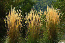 2 Calamagrostis acutiflora Karl Foerster Feather Reed Grass Autumn Colour Birds