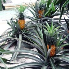 "Pineapple Plants ""Elite Gold"" Includes Four (4) Plants"