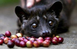 100% KOPI LUWAK Coffee 100 grams   100% A U T H E N T I C (over 200 sold)