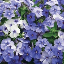 30+  PHLOX  BLUE VIOLET, FRAGRANT, ANNUAL SELF SOWS TO PERENNIAL FLOWER SEEDS
