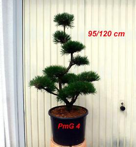 Pinus, Kiefer, Bonsai, Gartenbonsai, Formgehölz, Formschnitt,  Niwaki, PmG 4