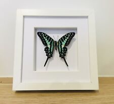 Real Blue Banded Swordtail Butterfly, Insect Taxidermy