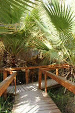 palm, California Fan Palm, washingtonia filifera, 20 seeds! GroCo
