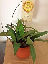 Hoya pubicalyx/publicalix Wax Plant x 1 cutting