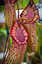 """5 SEMI DI Nepenthes ventricosa x spectabilis """"Rarissima-SPEDIZIONE GRATUITA """""""