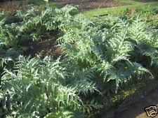 Cardoon Cynara cardunculus 2g Approx 40 seeds Herb