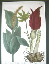 Antique Print,ARUM LILY,Dracunculus,Johann Wilhelm WEINMANN,1683-1741,Framed