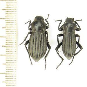 Coleoptra Carabus Tenebrionidae Prosodes higginsi A1 / 1 pair / Pakistan